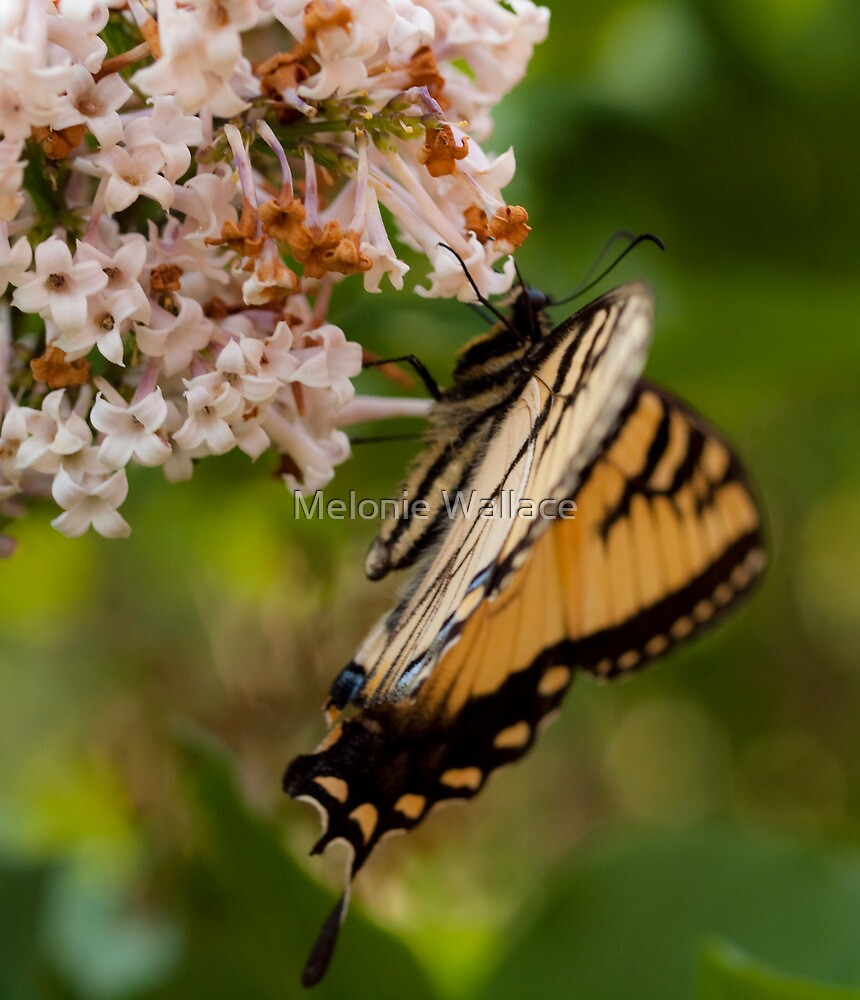 Our Butterfly by Melonie Wallace