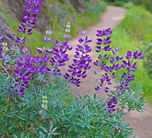 Lupines along the Trail by John Butler