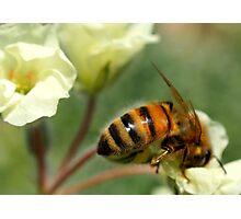 Gathering Nectar Photographic Print