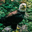Majestic Bald Eagle by Rebecca Reist