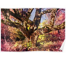 Very old apple tree Poster