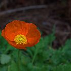 (Eschscholzia Californica) Orange Poppy  by Cynthia Broomfield