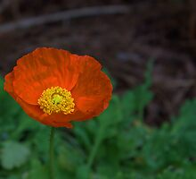 (Eschscholzia Californica) Orange Poppy  by Cynthia Broomfield