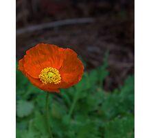 (Eschscholzia Californica) Orange Poppy  Photographic Print