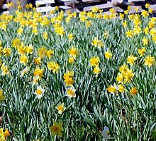 Hills Of Daffodils iPhone Case by Betty Northcutt