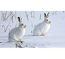 Hare There! North American Snowshoe Hare Photographic Print