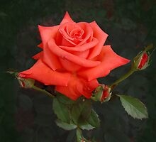 Perfect Lady Rose with Buds by lindabeth