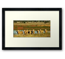 Merino Rams at Water Framed Print