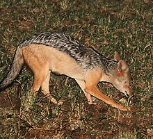 Side Striped Jackal at Night by Carole-Anne