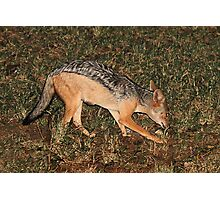 Side Striped Jackal at Night Photographic Print