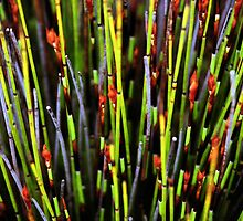 Plants of the Fynbos, Cape Reed Grass by Carole-Anne