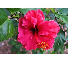 Red Hibiscus Flower Photographic Print