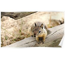 Young Ground Squirrel Poster