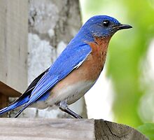 Mr. Bluebird by Kathy Baccari