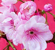 Cherry Blossom 2 by barnabychambers