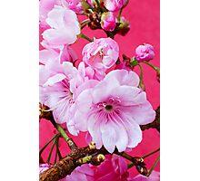 Cherry Blossom 2 Photographic Print