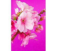 Cherry Blossom 3 Photographic Print