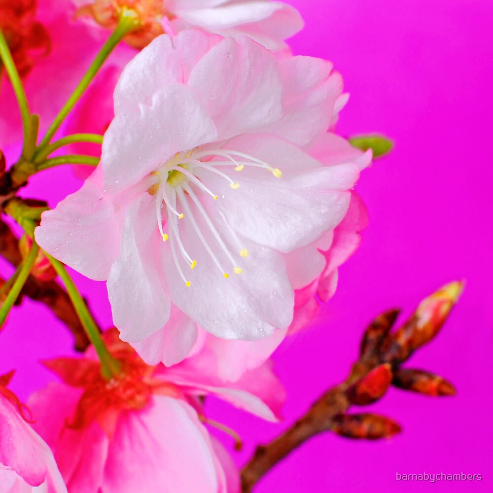Cherry Blossom 4 by barnabychambers