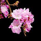 Cherry Blossom 5 by barnabychambers