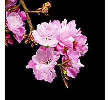 Cherry Blossom 5 Photographic Print
