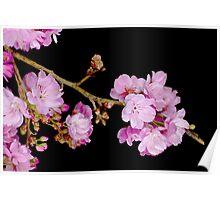 Cherry Blossom 6 Poster