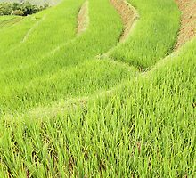 Rice in the Paddy by barnabychambers