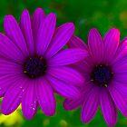 Purple duet by Matt Hill