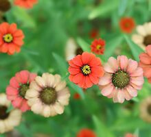 Butterfly View - Red Daisy Flowers by StarFlowerSt