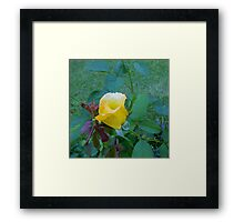 Baby Rose of Texas Framed Print