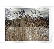 Reed in the wind, Hosehill lake Poster