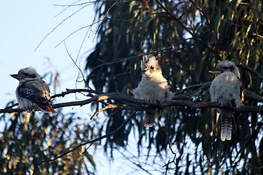 Three wise kookaburras by Vikki Shedden Photography