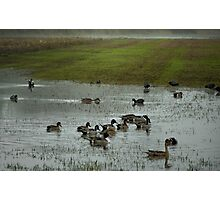 Pintails At Finley Photographic Print