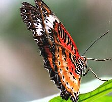 Butterfly Lacewing by Rose Landry