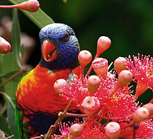 Rainbow Lorikeet by barnabychambers