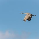 Sandhill Crane 2015-2 by Thomas Young