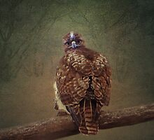 Young Red Tail Hawk by swaby