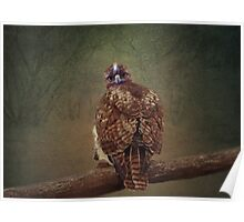 Young Red Tail Hawk Poster