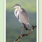 Black-headed Heron - Christmas Card by Jennifer Sumpton