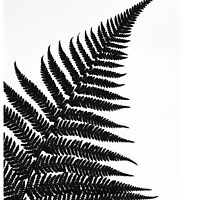 Silver Fern - iphone by mattslinn