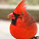 A Cardinal Afternoon by lorilee