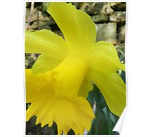 Oh Daffodil Poster