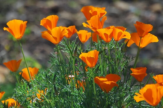 March Poppies by Ron Hannah