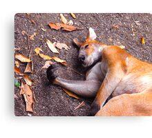 Sleeping Skippy Canvas Print