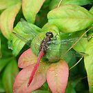 Dragonfly by Christine Jones