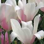 Pink Tulips a Larger View by Rosalie Scanlon
