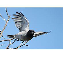 Black-faced Cuckoo Shrike Photographic Print