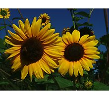 Sunflower Number 2 Photographic Print