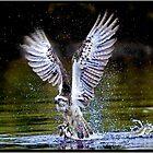 Osprey 401 by John Van-Den-Broeke