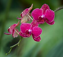 Orchid III by zzsuzsa