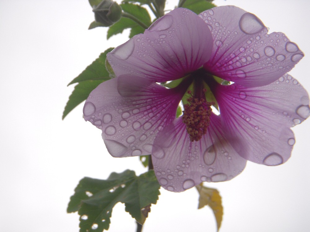 Rain on Petals by Tama Blough